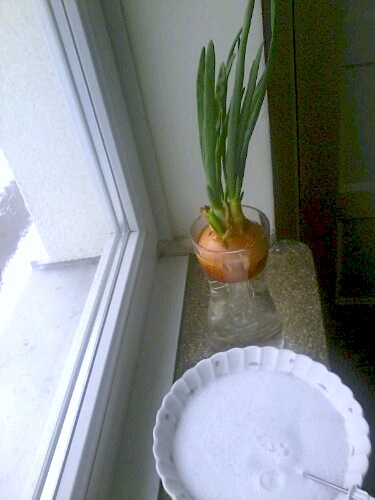 spring onion, window ledge