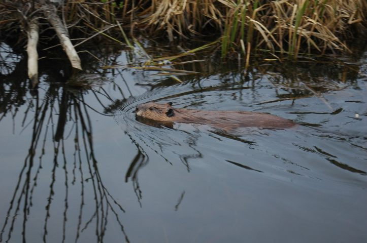 The Beaver Boardwalk, Hinton at Dusk